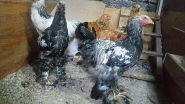 73 объявлений   ЖИВОТНЫЕ: Брама тёмная. Цыплята . Продаю . Два петушка . Возраст 5.месяцев По