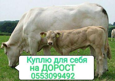 Бараны романовской породы купить - Кыргызстан: Куплю | Коровы, быки, Лошади, кони, Другие с/х животные | На откорм