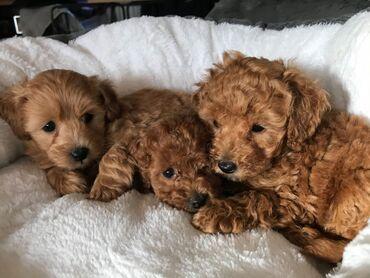 Υγιή κουτάβια Toy poodle για υιοθεσία μικροτσίπ, ελεγμένο κτηνίατρο