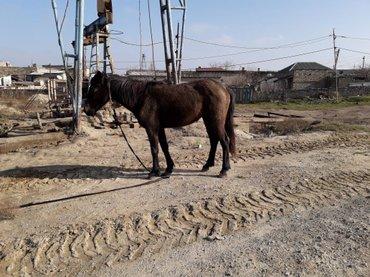 Bakı şəhərində at satilir