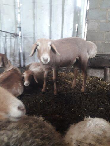 С/х животные - Кыргызстан: Продаю | Баран (самец) | Гиссарская | Для разведения | Племенные