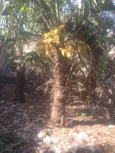 Otaq bitkiləri Gəncəda: Palma agaclari 5 agac .Tecili satiram 14 illik agaclardirlar