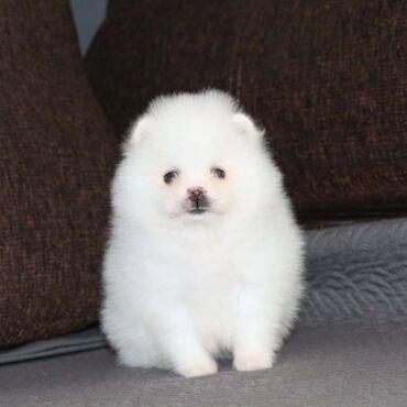 Όμορφο Pomeranian προς πώλησηWhatsapp (+)Ο Λούις είναι ένα καθαρόαιμο