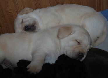 продам пуделя в Кыргызстан: Продаются щенки породы Лабрадор Ретривер. Дата рождения 25.08.2021