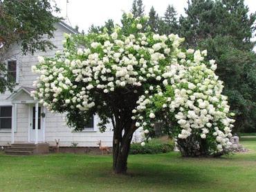 Продаю отростки Бульдонеж, очень красивый кустарник для дома и дачи в Токмак