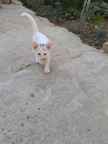 pisik-satisi - Azərbaycan: 2 aylig ag pisik