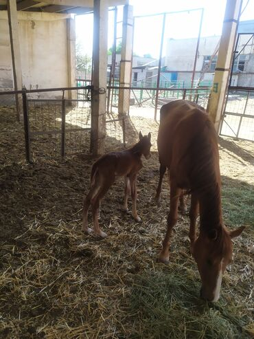 С/х животные - Кыргызстан: Продаю | Кобыла (самка), Жеребец, Жеребенок | Полукровка | Для разведения | Племенные