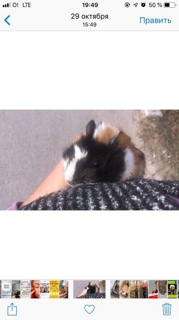 Продаю морскую свинку ) очень красивая ) ей 3,5 месяца, очень активная
