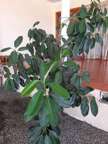 Otaq bitkiləri - Ağdaş: Fikus
