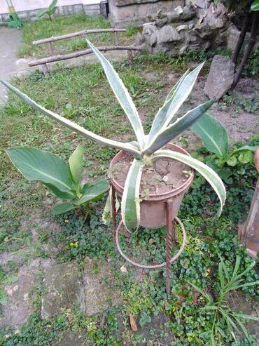 Kaktusi - cveće sa slika, razni vrsta i veličina,zainteresovani