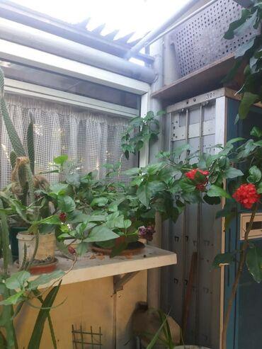 Фиалки - Кыргызстан: Комнатные растения цена от 100 сом