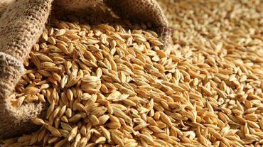 Семена и уличные растения - Кара-Балта: #Арпа#ячмень# продаю 17 тон 14 сом в мешках для посева тап тазашка