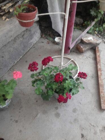 Комнатные растения в Ак-Джол: Продаю, Пеларгонии или меняю на диугие рацветки!!!
