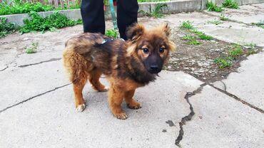 двойка-для-мальчика в Кыргызстан: Ищу добрую хозяйку для собаки-девочки (беспородная). С опытом в