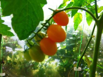 Seme duguljasto narandžastog  čerija.Fantastičnog sladunjavog  - Uzice
