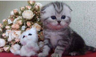 домашние котята в Азербайджан: Элитные мраморные шотландцы редких мраморных окрасов.открыта