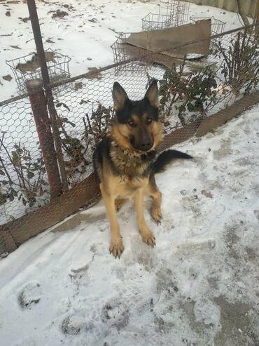 Собаки - Кыргызстан: Продаю Немецкую овчарку кабель 1,5годачистокровную,хороших кровей,ср
