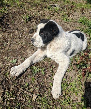 хохлатая собака в Кыргызстан: Продаются щенки САО Алабай. Возраст 3.5 месяца. Охранник по природе и