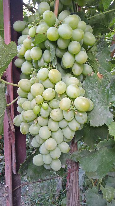184 объявлений: Продаю саженцы винограда сорт Италия. 300 с