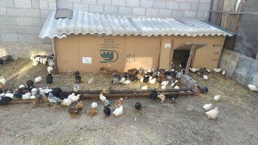 Продаю | Цыплята