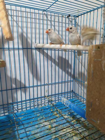 кето гуру цена бишкек в Кыргызстан: Продам пару амадиник цена за пару