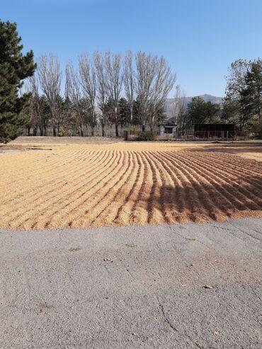 9677 объявлений: Срочно продаю кукуруза сухой,жугору кургак сорт казахстанский Будан