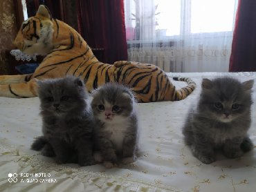 Животные в Кыргызстан: Продаются шотландские котята!!! Остались два мальчика, страйт и фолд