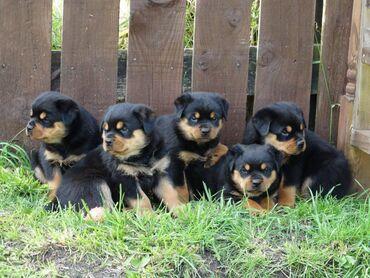 Πώληση κουτάβια RottweilerRottweiler κουτάβια αρσενικά και θηλυκά
