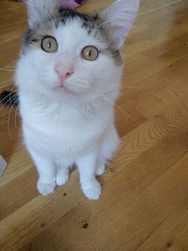 Heyvanlar - Azərbaycan: Disi pisik axtarilir cutlesdirmek ucun. Erkek pisiyin peyvendleri