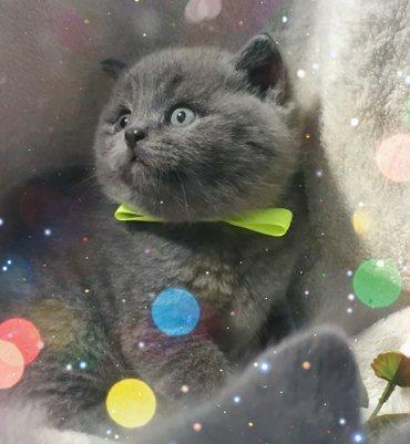 Продаются очаровательные шотландские котята-страйт голубого окраса! в Бишкек