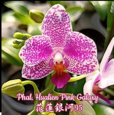 Сортовые орхидеи. Фаленопсис: Phal. Hualien Pink Galaxy