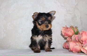 Bakı şəhərində Продаются два щенка йоркширского терьера, мальчики, два месяца. Постав