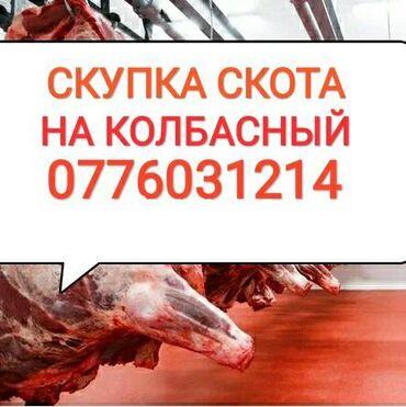 золотой лошадь пластырь цена в Кыргызстан: СКУПКА КОРОВ ТЕЛОК Лошадей на колбасный. Без посредников, в любое