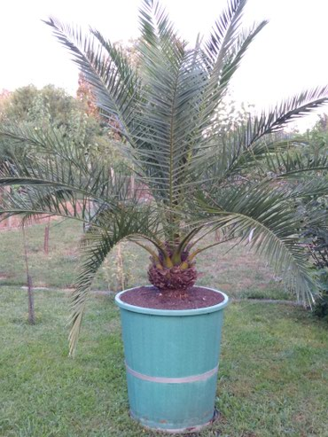 Prelepa palma,stara skoro cetrdeset godina. - Kikinda
