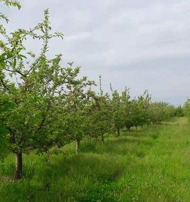 Qusar şəhərində Qusarda bakı rostov yolun kənarında, 4.53 hektar 13 illik alma