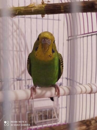 Животные - Нижний Норус: Продается попугай волнистик (девочка).Здоровая,октивная!