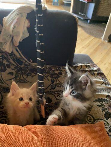 Heyvanlar - Azərbaycan: Вашему вниманию-Продажа котят породы Мейн-ку́н 🐈⬛ Немного