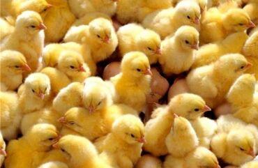 Бройлерные Цыплята  Порода: Арбор Айкрес! Вывод 3 июля. Так же вы може