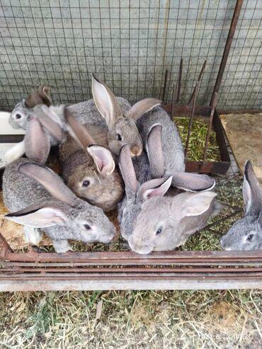 Декоративные кролики - Кыргызстан: Продаю крольчат.Миксы (фландер с серым великаном).возраст один месяц
