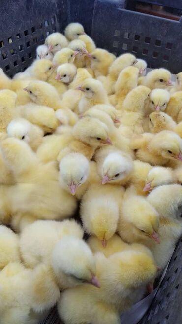 Бройлернные суточные цыплята