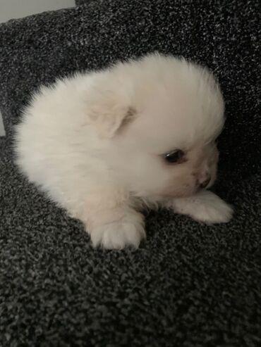 Υγιή κουτάβια Pomeranian για υιοθέτηση μικροτσίπ, ελεγμένο κτηνίατρο