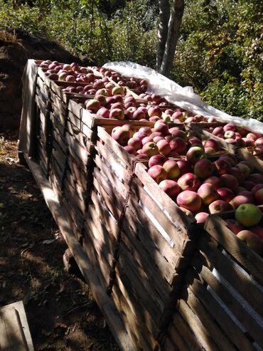 20 объявлений: Продаю яблокиРашида первый сорт только что сорватый