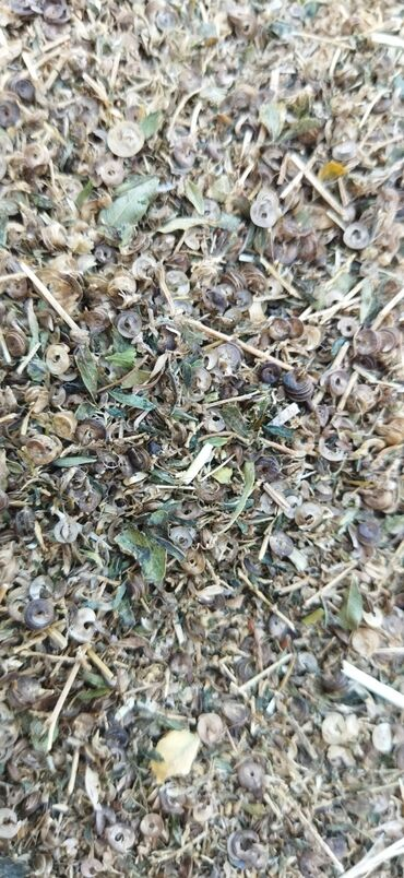 корова купить цена в Кыргызстан: Куплю бобики Кара Балта. По 5 сом за кг. От 1 до 2 тонн