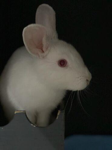 Декоративные кролики - Кыргызстан: Декоративный ручной кролик 6мес приучен к лотку любит ходить за хозяев