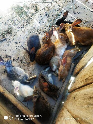 Животные - Балыкчы: Продаю   Крольчиха (самка), Кролик самец, Крольчата   Фландр   На забой, Для разведения
