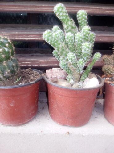 Ljiljan - Jagodina: Kaktus