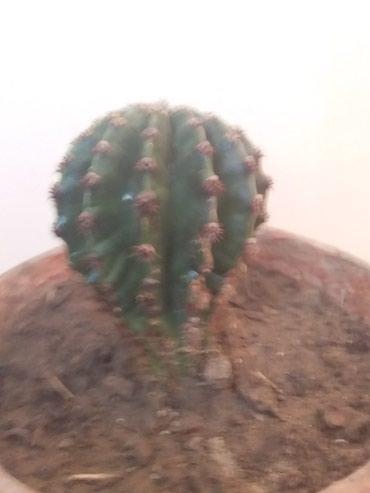 Bakı şəhərində Kaktuslar