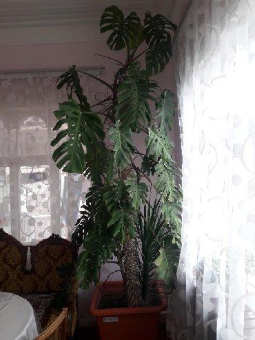 Ev və bağ Sabirabadda: Monstera (Монстера) dekorativ gul.hundurluyu 3 m
