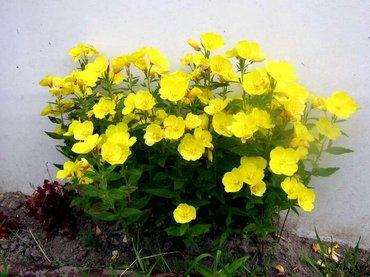 Цветы для сада, энотера, многолетник, цена за один корень в Бишкек