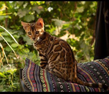 Коты - Кыргызстан: Котятки Бенгалятки .Заведите себе друга. Эта порода кошек не заставит